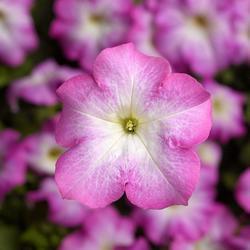 Petunia h. Express Pink Morn 500 pellets