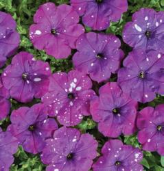 Petunia mf. Dot Star Dark Violet F1 250 pellets