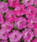 Petunia mf. Dot Star Deep Pink F1 250 pellets - 1/2
