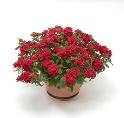Verbena Obsession Cascade Scarlet 100s - 1