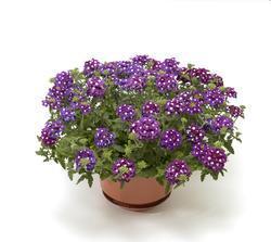Verbena Obsession Cascade Purple Sh.with Eye 100s - 1