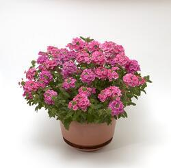 Verbena Obsession Cascade Pink Shades 100s - 1