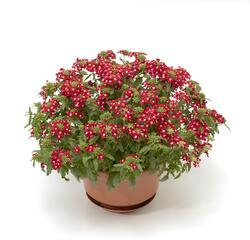 Verbena Obsession Cascade Red with Eye 100s - 1
