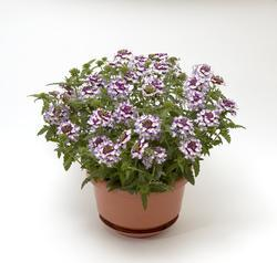 Verbena Obsession Cascade Violet Twister 100s - 1
