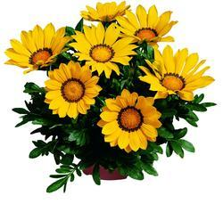 Gazania Kiss Yellow F1 200 seeds