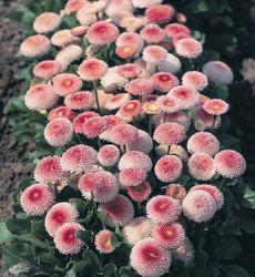 Bellis p. Tasso světle růžová s červ.středem 500s