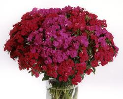Dianthus barbatus Amazon Neon Duo F1 200 pelet