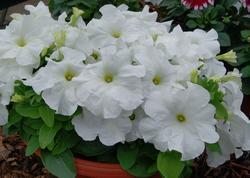 Petunia h. Limbo GP White F1 250 pellets