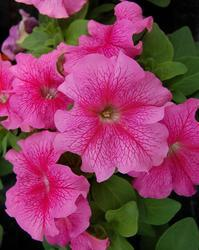 Petunia h. Limbo GP Rose Veined F1 250 pellets