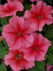 Petunia h. Limbo GP Red Veined F1 250 pelet