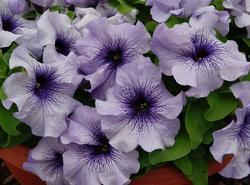 Petunia h. Limbo GP Blue Veined F1 250 pelet