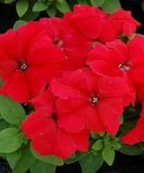 Petunia h. Limbo Red F1 250 pelet