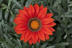 Gazania Frosty Kiss Red F1 200s - 1