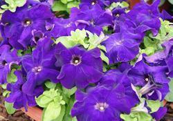 Petunia h. Limbo GP Blue F1 250 pelet