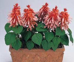 Salvia splendens Vista Salmon 250 seeds