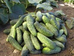 Cucumber Gherkin Bohemia F1 10g
