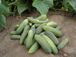 Cucumber Gherkin Sonada F1 10g