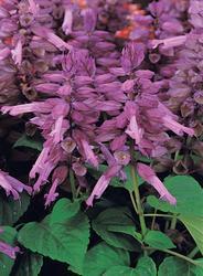 Salvia splendens Vista Lavender 250s