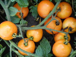 Rajče keříčkové Oranže 10g