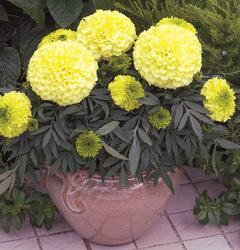 Tagetes erecta Antigua Primrose  F1 20 seeds