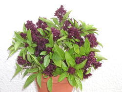 Ocimum basilicum - Basil Siam Queen 2g