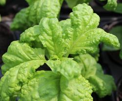 Bazalka Lettuce Leaf 5g
