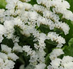 Limonium Qis White 2g