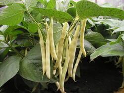 Field bean Aidagold 20g /yellow legume