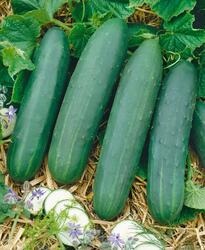 Salad cucumber Perseus F1 10g