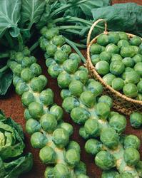 Brussels sprouts Groninger (Rosella) 10g