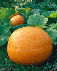 Pumpkin Goliáš 25g