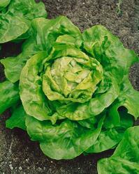 Salát polní Král máje 1 10g