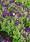Salvia horminum Blue streaker 250s