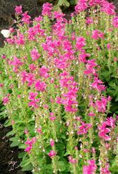 Salvia horminum Rose streaker 250 seeds - 1