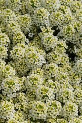 Lobularia m. Easter Bonnet Lemonade 1g