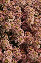 Lobularia m. Easter Bonnet Peach 1g