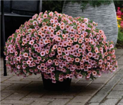 Calibrachoa h. Kabloom Light Pink Blast F1 100pel.