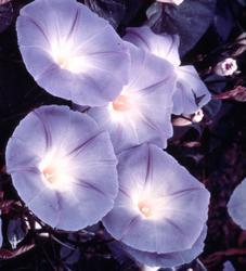 Ipomoea tricolor Nebesky modrá 5g