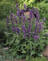 Salvia farinacea Evolution Violet 1000 seeds - 1