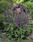 Salvia farinacea Evolution Violet 1000 seeds - 1/3