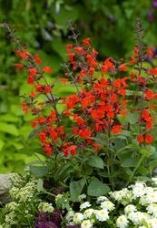 Salvia coccinea Forest Fire 250 seeds