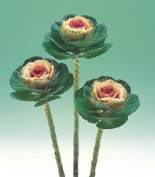 Brassica o. Crane Bicolor F1 250s
