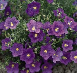 Nierembergia hippomanica Purple Robe 1000s