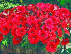 Petunia mill. picobella Red F1 250 pelet