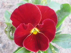 Viola x w. Scarlet 1g
