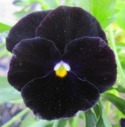 Viola x w. Black King 1g