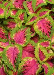Coleus b. Sun Watermelon 100 pellets
