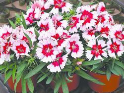 Dianthus Super Parfait Red Peepermint F1 200 pelet