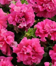 Petunia h. Double Cascade Pink F1 250 pellets