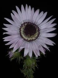 Berkheya purpurea 0,5g